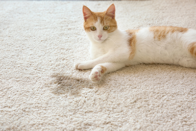 image of a cat that has urinated on the carpet