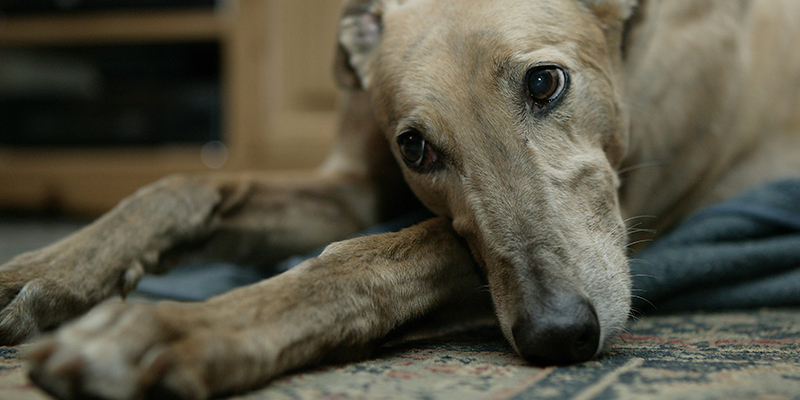 image of a grey hound laying on carpet