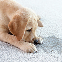 image of a puppy that has urinated on the carpet